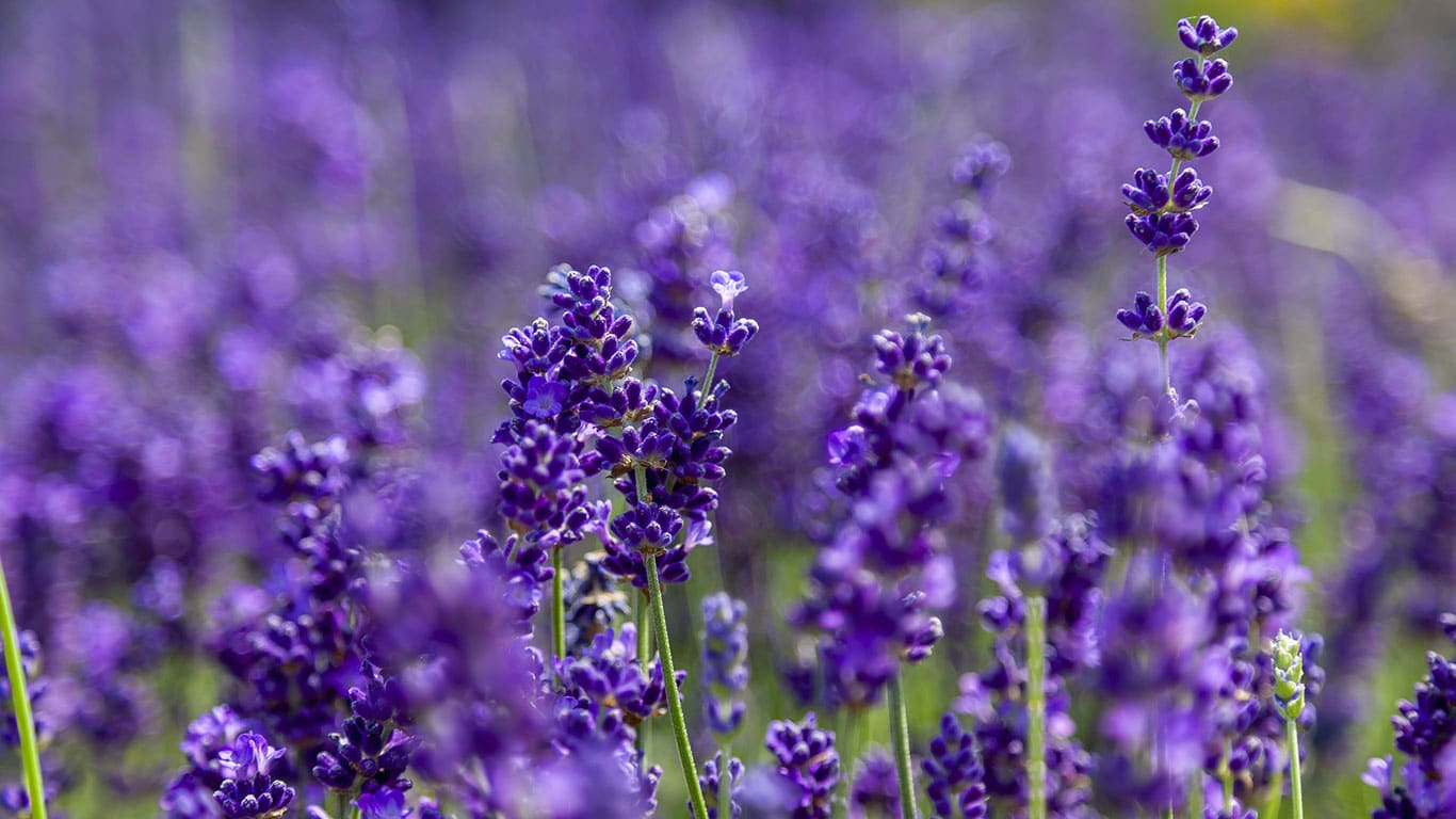 Lavendel gefotografeerd met een grote scherpte diepte