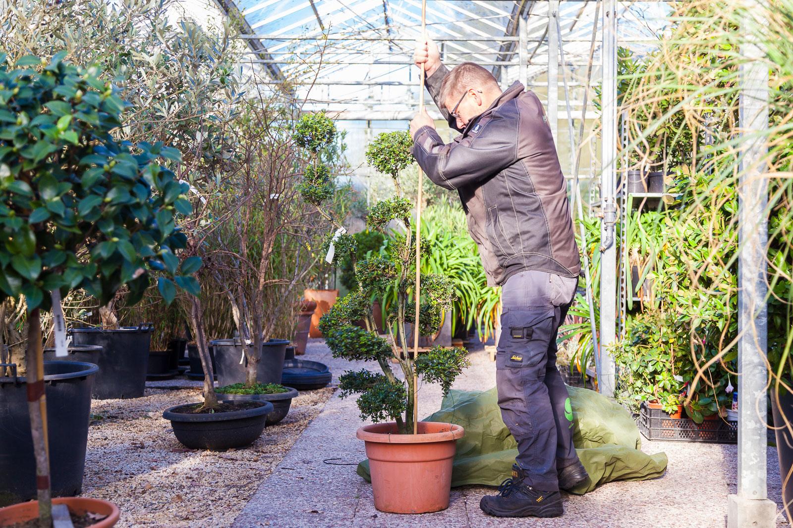 Gert-Jan Schonenberg is in de kas een plant winterklaar aan het maken.