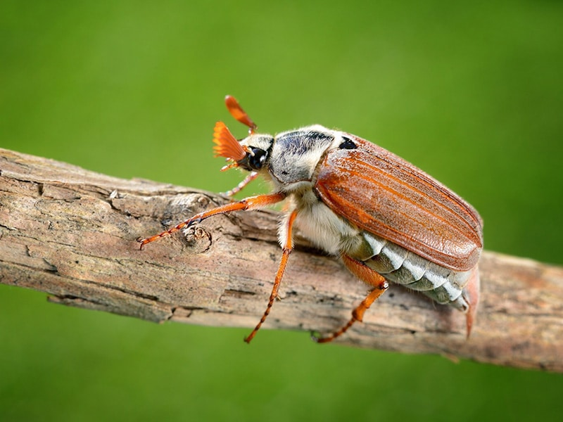De meikever vliegt vooral tijdens de schemering en komt op licht af.