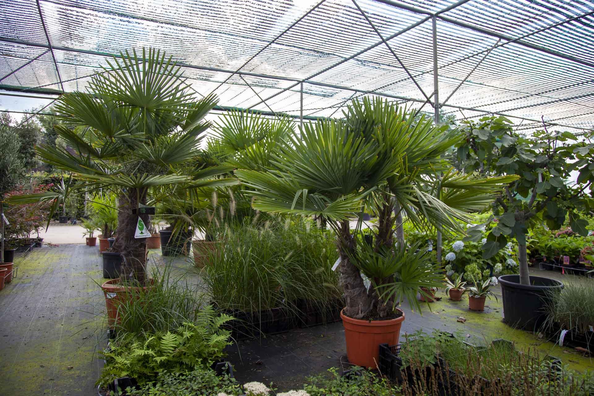 Palmbomen voor overwinteren van planten